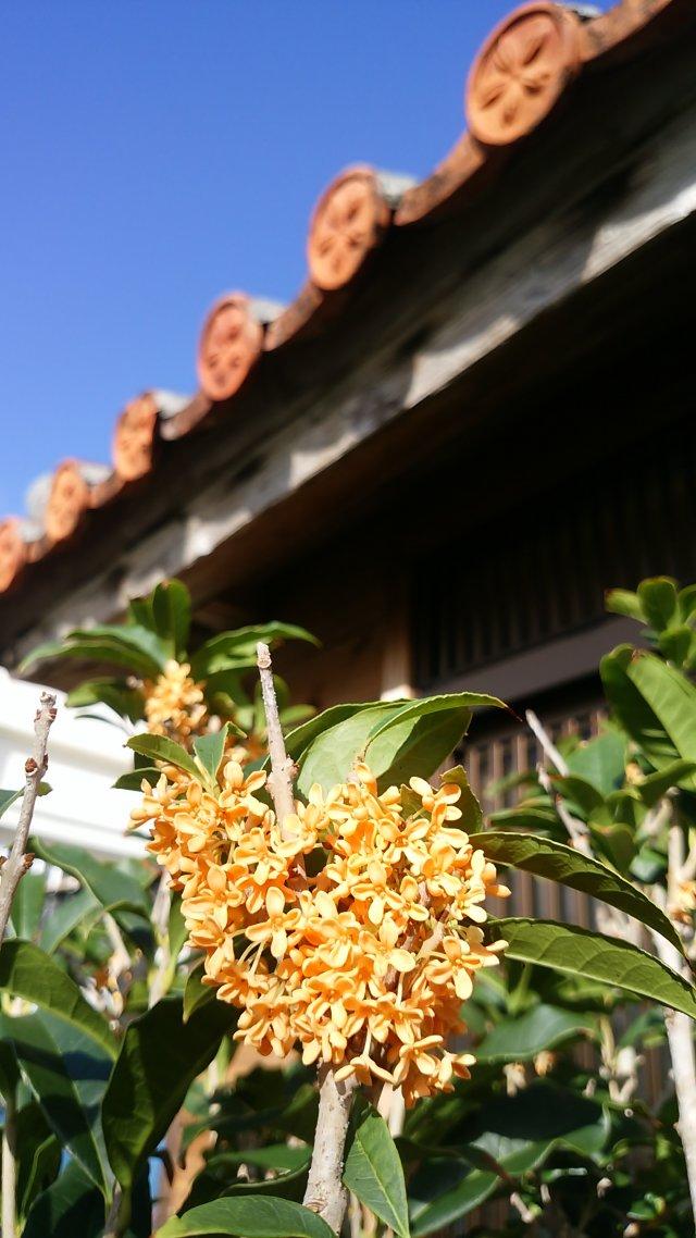 沖縄県のキンモクセイ